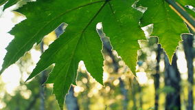 Leaf In The Sun Stock Image