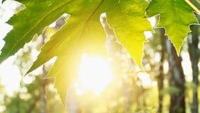 Leaf In The Sun Stock Photos