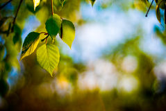 Leaf sunset. Beautiful green leaf through the sunset Royalty Free Stock Images