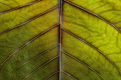 Leaf surface Royalty Free Stock Photography