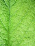 Leaf surface. Leaf macro shot, leaf surface Royalty Free Stock Photo