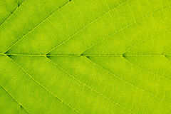Leaf surface - Background - Green - Vein - Symmetry Royalty Free Stock Image