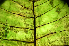 Leaf surface Royalty Free Stock Image