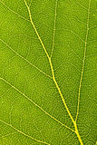 Leaf surface-Closeup Royalty Free Stock Image