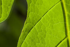Leaf Surface Closeup Stock Photo