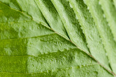 Leaf Surface. Green Leaf Surface natural background Royalty Free Stock Images