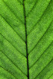 Leaf Surface. Green Leaf Surface natural background Royalty Free Stock Photos