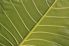 Leaf surface Royalty Free Stock Images