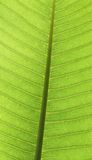 Leaf surface. Plumeria Leaf vien with sunlight shine thru Royalty Free Stock Image