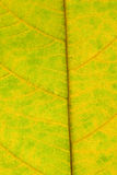Leaf surface Royalty Free Stock Photo