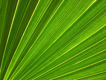 Leaf Surface Vein Pattern. Details of vein pattern on leaf surface of a tropical plant Royalty Free Stock Photo