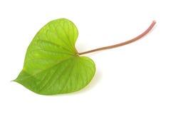 Leaf of sweet potato Royalty Free Stock Image