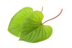Leaf of sweet potato Stock Image