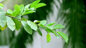 Leaf swinging stock footage