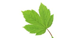 Leaf of sycamore maple. Closeup on white. Green leaf of sycamore maple isolated on white background stock photos