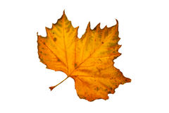 Leaf of a sycamore tree Stock Image