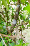 Leaf Tail Gecko in Madagascar Royalty Free Stock Photos