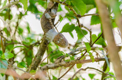 Leaf Tail Gecko in Madagascar Royalty Free Stock Photo