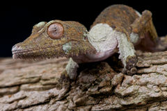 Leaf-tailed gecko Stock Photos