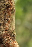 Leaf-tailed gecko Royalty Free Stock Photography