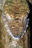 Leaf-tailed Gecko closeup Stock Photo