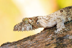 Leaf tailed gecko portrait Royalty Free Stock Photos
