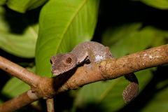 Leaf-tailed gecko, Uroplatus fimbriatus, madagascar Royalty Free Stock Images