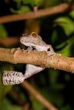 Leaf-tailed gecko, Uroplatus fimbriatus, madagascar Royalty Free Stock Photos