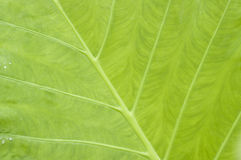 Leaf of taro Stock Photography