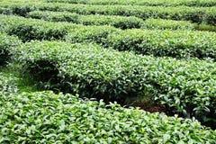 Leaf tea farm Royalty Free Stock Photos