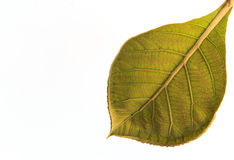 Leaf of Teak (Tectona grandis) Stock Photo