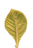 Leaf of Teak (Tectona grandis) Royalty Free Stock Photography