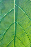Leaf of Teak texture Stock Images