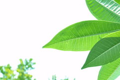 Leaf of the temple flower tree. Royalty Free Stock Image
