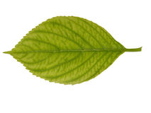 Free Leaf Texture Royalty Free Stock Photography - 10053947