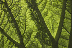 Leaf texture. Close up of a leaf showing the veins and texture royalty free stock photography
