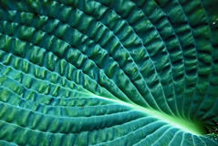 Leaf texture. Veins and wrinkled texture of a large green hosta leaf Stock Image