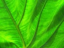 Leaf Texture. Elephant Ear Leaf Close-up stock images