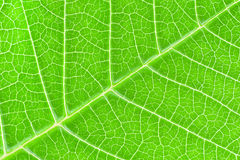 Leaf Texture. Detail of the green leaf venation Stock Images