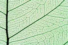 Leaf texture. Green leaf texture, ornate organic background Stock Image