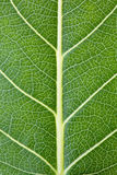 Leaf texture. Royalty Free Stock Photos