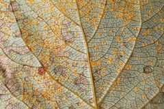 Leaf texture. Macro of a leaf texture Stock Photography