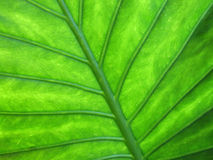 Leaf texture. A closeup of the veins of leaf royalty free stock image