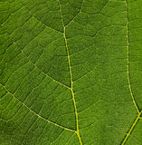 Leaf Texture. Closeup of a green leaf and it's wonderful texture it has Royalty Free Stock Photos