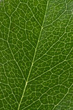 Leaf texture. Macro of green leaf texture Royalty Free Stock Photo