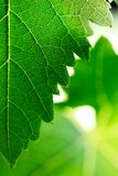 Leaf texture. Grape leaves background. Shallow DOF Stock Images