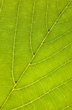 Leaf texture. Green leaf texture close up Stock Photography