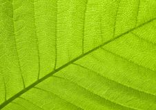 Leaf texture. Texture of a green leaf in sunlight Royalty Free Stock Photos