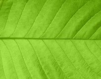 Leaf texture. Texture of a green leaf in sunlight Stock Photography