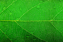 Leaf texture. Green leaf closeup Royalty Free Stock Photography